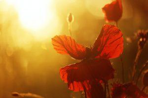 Mohnblüte im Sonnenuntergang
