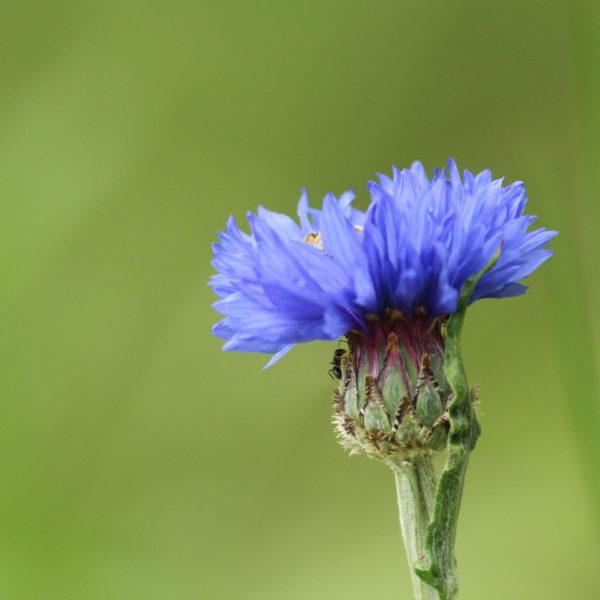 Blütentinte aus der königlichen Kornblume