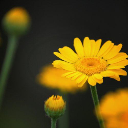 Färberkamille - wohltuendes Gelb mit wunderbarem Duft