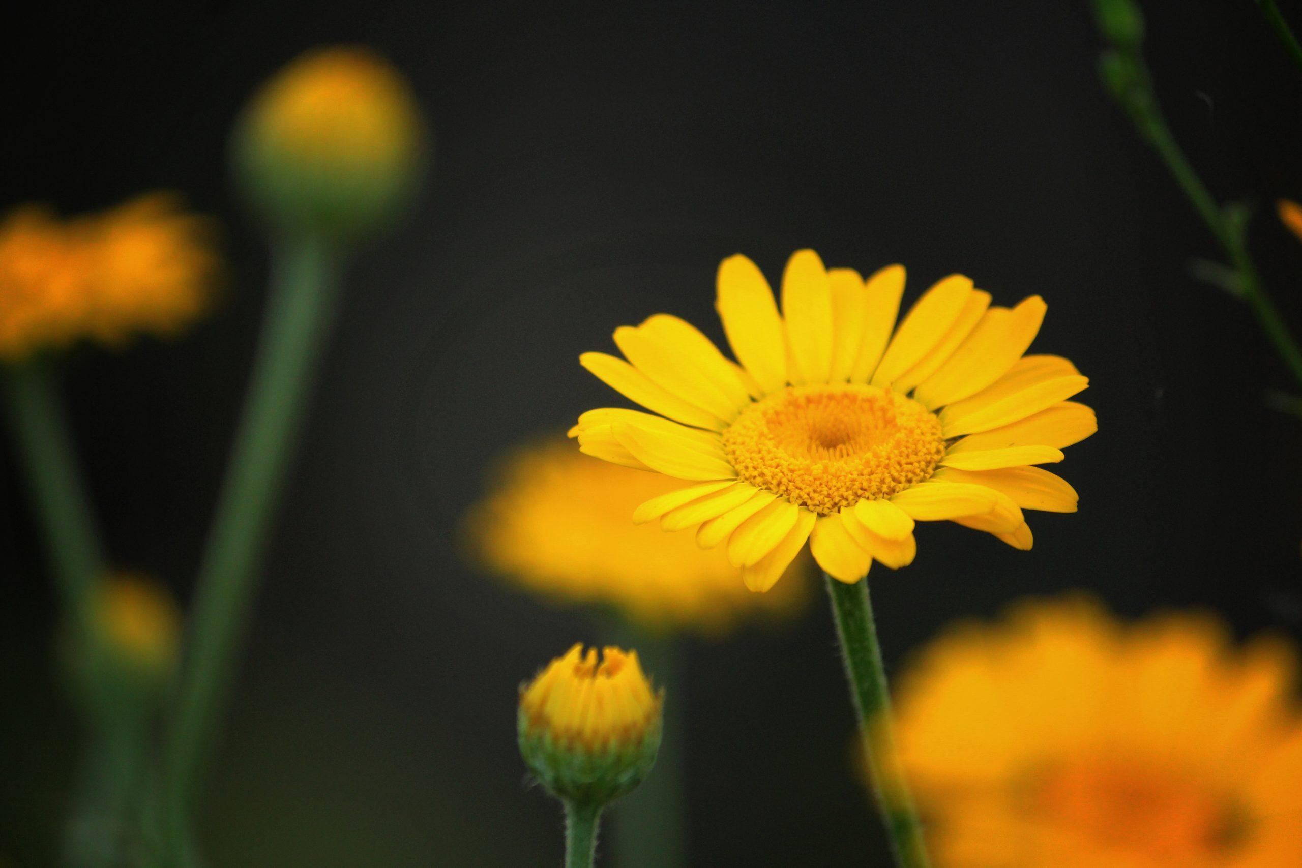 Färberkamille – wohltuendes Gelb mit wunderbarem Duft